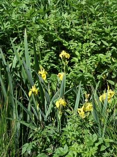Blume mit großer gelber Blüte und schwertförmigen Blättern.