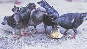Taubenfüttern ist in Marburg verboten.