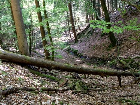 Blick in  den Teufelsgraben: Kleiner Bach im frisch belaubten Buchenwald. Zu beiden Seiten steigt die Umgebung mehr oder weniger steil an. Im Vordergrund liegt ein umgestürzter Baum.©Universitätsstadt Marburg