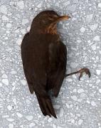 Amselweibchen, das gegen eine Glasscheibe geflogen und so zu Tode gekommen ist. Äußere Verletzungen sind nicht zu erkennen.