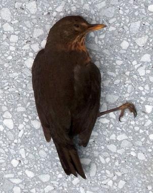 Amselweibchen, das gegen eine Glasscheibe geflogen und so zu Tode gekommen ist. Äußere Verletzungen sind nicht zu erkennen.©Universitätsstadt Marburg