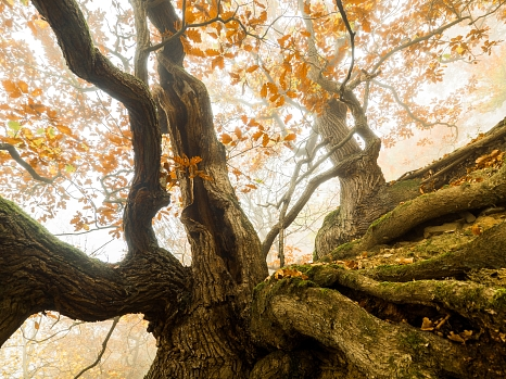 Blick aus der Froschperspektive auf den verästelten Stamm und die rostbraunen Herbstblätter eines Baums.©Felix Wesch