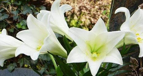 Das Foto zeigt weiße Lilien auf einem Grab.©DBM, Sonja Stender